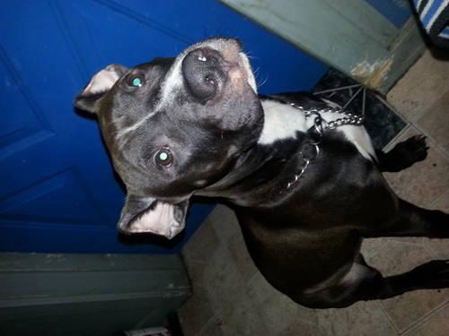 blue nose pit puppies for sale in Wisconsin Classifieds
