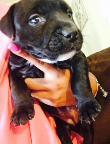 Blue-red nose pit bull puppies for Sale in Charlotte, North Carolina ...