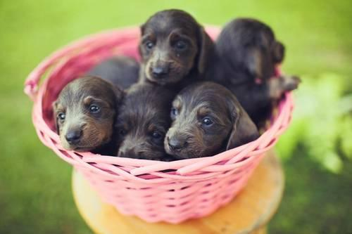 Blue Tan Dachshund Puppies 6 Weeks Old For Sale In Borden