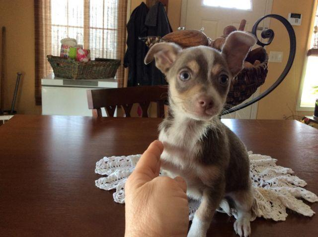 tri color chihuahua blue tri colored chihuahua for sale in staunton illinois 5408