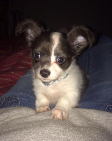 White Long Coat Chihuahua Puppies