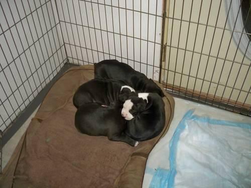 Bluenose Bully Pitbull Puppies For Sale For Sale In Elkhart Indiana