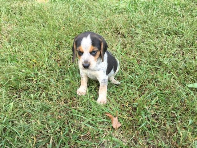 Bluetick Beagle Puppies For Sale In Beaverdam Virginia Classified