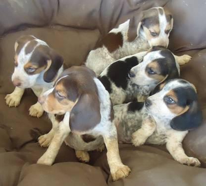 Bluetick Beagle/Walker Coonhound mix Puppies - READY NOW ...