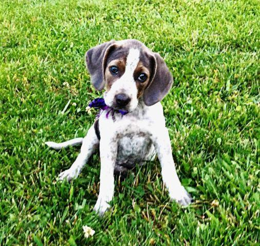how to train a coonhound puppy