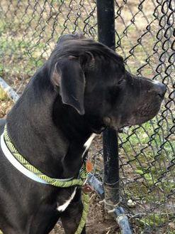 Bo American Pit Bull Terrier Adult Male