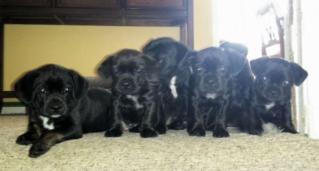 Bo Dachs Puppies Dachshund Boston Terrier Mix For Sale In