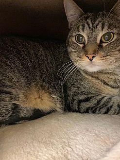 Bo Domestic Shorthair Adult Male