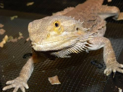 Bob, the Bearded Dragon (lizard), 55-gallon tank,