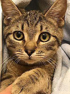Bobbi Domestic Shorthair Young Male