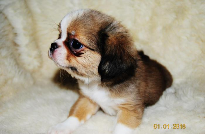 Shih Tzu Puppies For Sale In Osakis Minnesota Classifieds Buy And