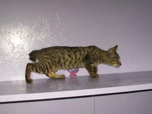 BOBCAT BENGAL HYBRID Kittens