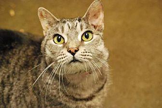 Bobcat Domestic Shorthair Senior Female