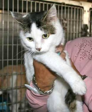 Bobtail - Barbara - Small - Adult - Female - Cat