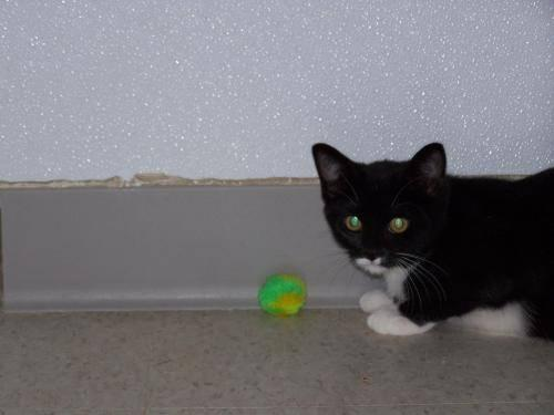 Bobtail - Mindi - Small - Young - Female - Cat