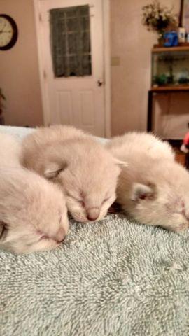 Bobtail siamese Kittens for Sale in La Fayette, Georgia ...