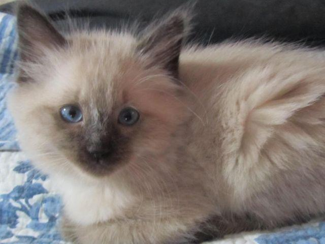 siamese kittens classifieds buy sell siamese kittens across the