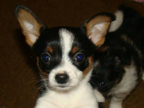 chihuahua puppies michigan bochi puppies boston chihuahua for sale in grand 1837