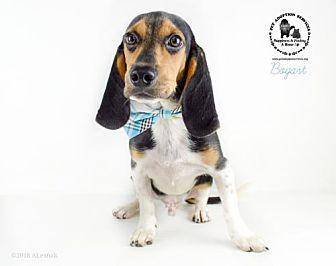 Bogart Beagle Young Male