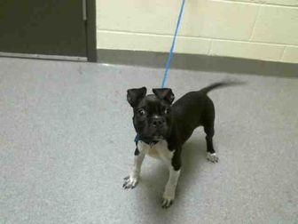 BOGEY Boston Terrier Young Male