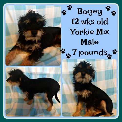 Bogey Yorkshire Terrier Yorkie Baby Adoption Rescue For Sale In