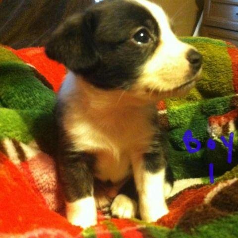 Boston Terrier Pug Puppy For Sale In Michigan Classifieds Buy And