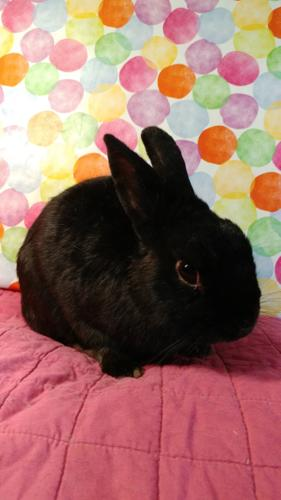 Bojangles Bunny Rabbit Young - Adoption, Rescue