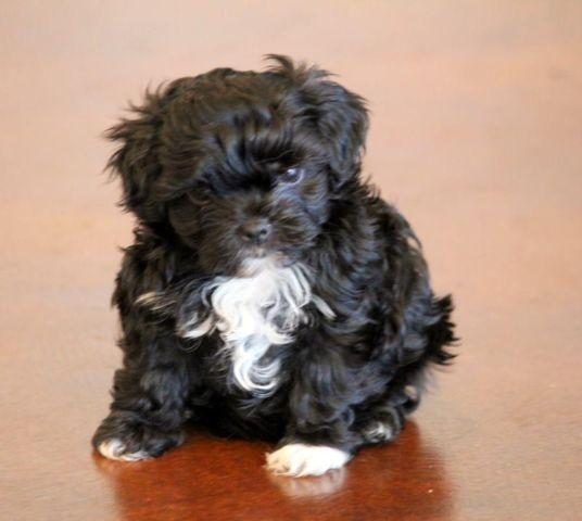 """Bolonka"""". Toy sized non-shedding rare breed little dogs for Sale in ..."""