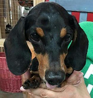 Boomer Dachshund Adult Male for Sale in Centerville, Georgia