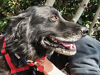 Boone Bernstein Flat-Coated Retriever Senior Male