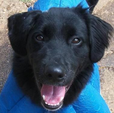 Border Collie - Buddy - Medium - Adult - Male - Dog