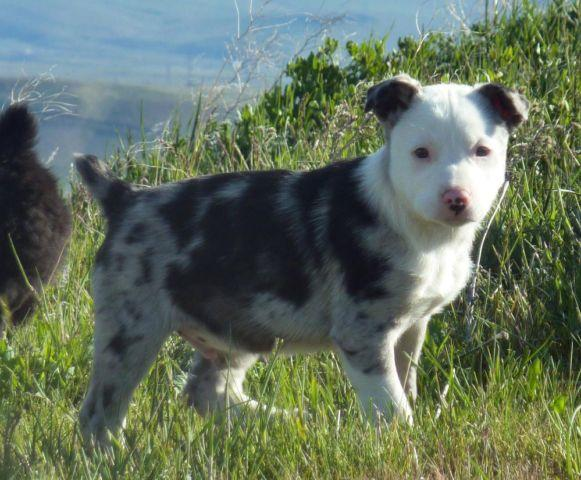 Border Collie / Hanging Tree Cow Dog Puppies RED MERLE and BLUE MERLE