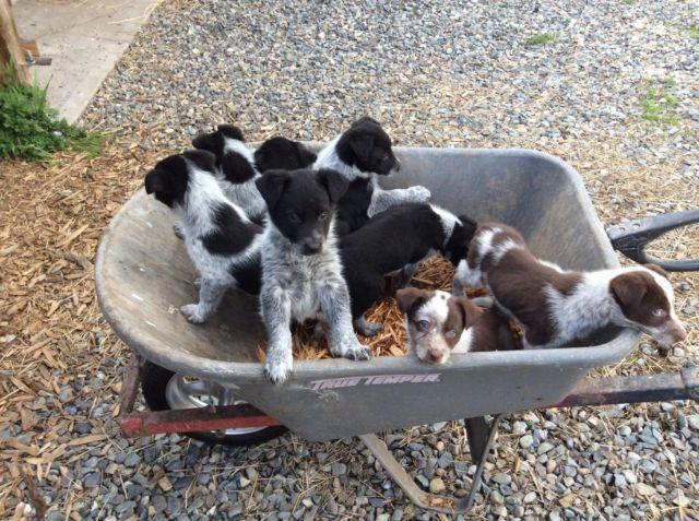 Border Collie Heeler Cross Puppies For Sale In Buckley