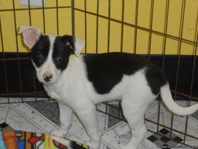 *^*Border Collie/Jack Russell Puppies*^*Semihousebroken*^*