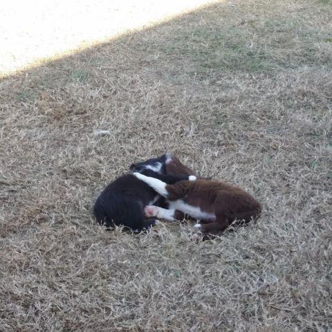 Border Collie Long Hair Chihuahua Mixed Pups For Sale