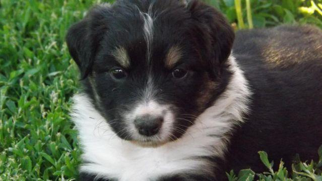 Maltipoo Puppies Pets And Animals For Sale In Payette Idaho Puppy