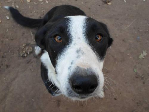Border Collie - Oreo - Medium - Young - Female - Dog for ...