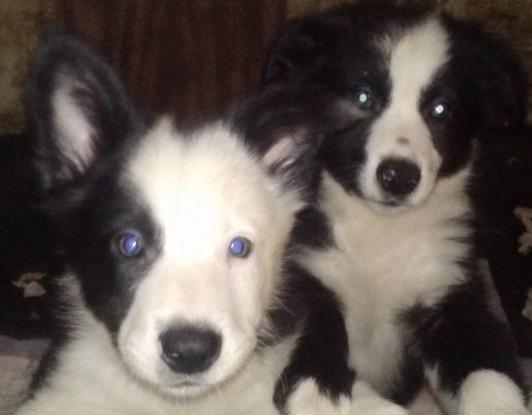Border Collie Puppies - 9 Weeks for Sale in Findlay, Ohio Classified