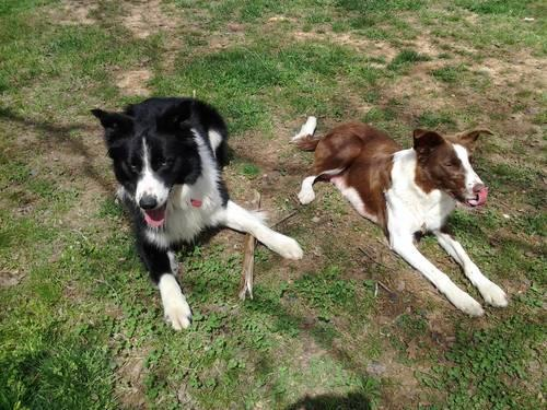 Border Collie Puppies READY December 13, 2013 for sale in Cumberland