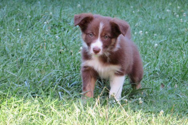 Border Collie For Sale In Tennessee Classifieds Buy And Sell