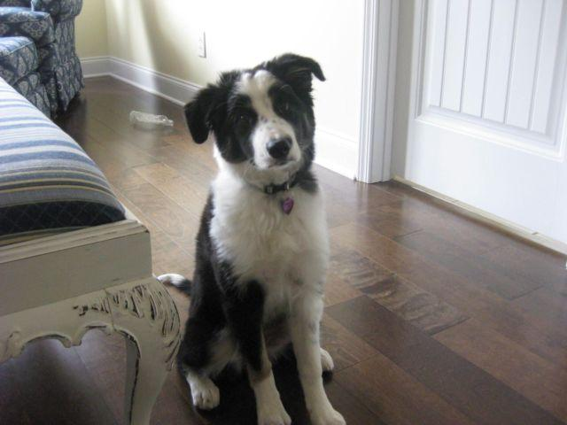 Border Collie puppy- 4 months old for Sale in Inman, South ...