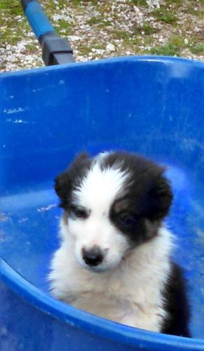 Border Collie Puppy For Sale Adoption Rescue For Sale In