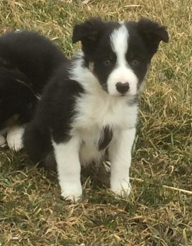 Border Collie Puppy for Sale - Adoption, Rescue for Sale in