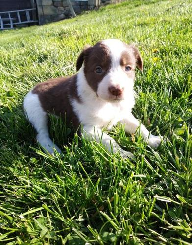 Border Collie Puppy For Sale Adoption Rescue For Sale In Alliance