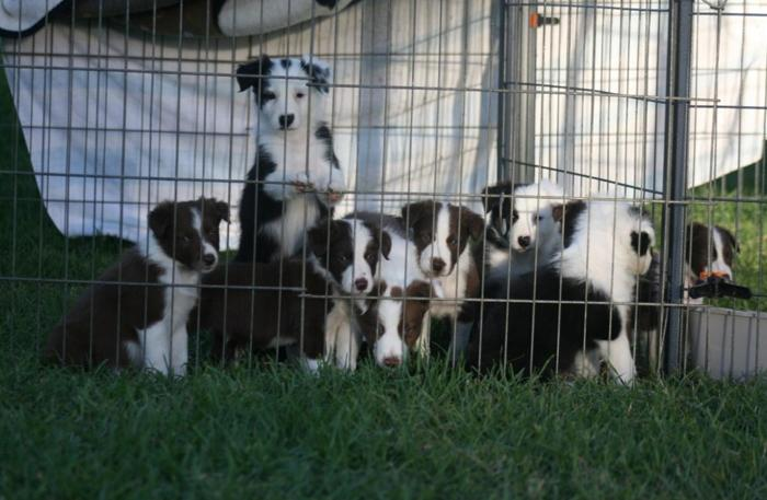 Border Collie Pups For Sale In Rio Vista California Classified
