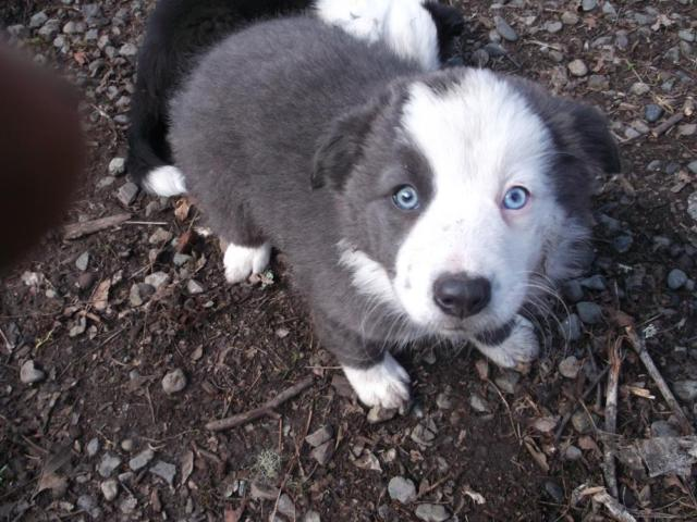 Border Collies For Sale In Oregon Classifieds Buy And Sell In
