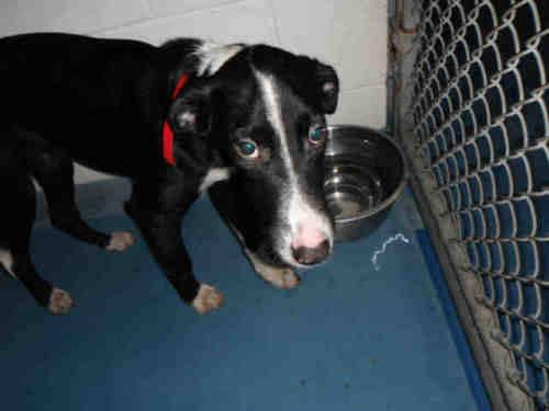Border Collie - Romeo - Medium - Young - Male - Dog