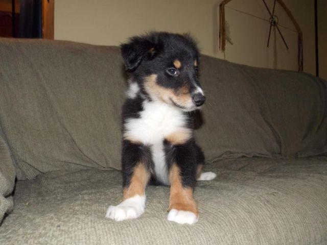Collie Mix Pets And Animals For Sale In The Usa Puppy And Kitten