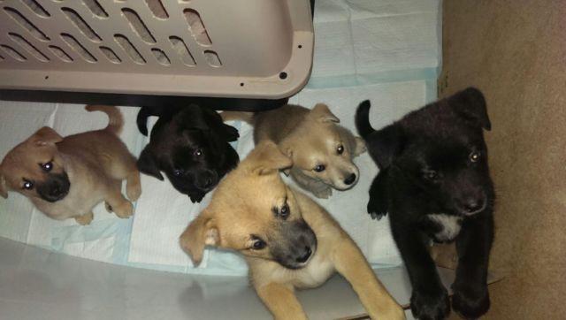 Border Collie Lab Mix Puppies Michigan