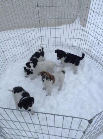 Border Jack Puppies Ready To Go Home Anytime For Sale